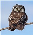 Picture Title - Northern Hawk Owl