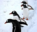 Picture Title - Penguin Parade