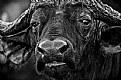 Picture Title - Mkhaya Buffalo