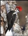Picture Title - Pileated Woodpecker (male)