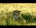 Picture Title - cheetah (color)