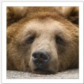 Picture Title - Like a bear with a sore head...