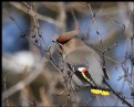Picture Title - Bohemian Waxwing