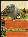 Picture Title - a pidgeon I am....