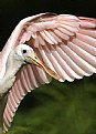 Picture Title - Roseate Spoonbill