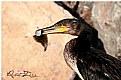 Picture Title - Karabatak / Cormorant