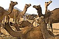 Picture Title - Camels For Sell