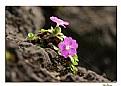 Picture Title - Primula