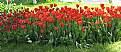 Picture Title - tulip garden