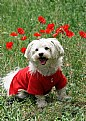 Picture Title - puppy in front of poppies