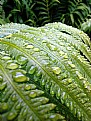 Picture Title - Water Drops on Fern