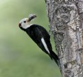 Picture Title - White-headed Woodpecker