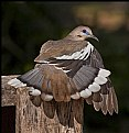 Picture Title - Sunning Dove