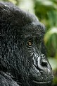 Picture Title - Mountain Gorilla