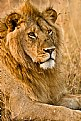 Picture Title - African lion