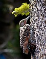 Picture Title - Northern Flicker 2