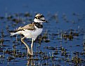 Picture Title - Killdeer Chick