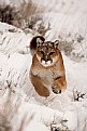 Picture Title - Puma