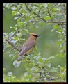 Picture Title - Cedar Waxwing