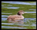 Picture Title - Baby Loon