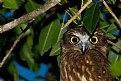 Picture Title - Brown Owl