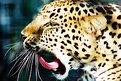 Picture Title - Leopard