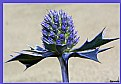 Picture Title - Sea Holly