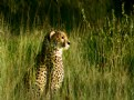 Picture Title - [ cheetah ]