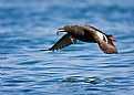 Picture Title - Pigeon Guillemot with fish