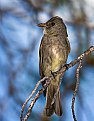 Picture Title - Olive-sided Flycatcher