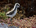 Picture Title - American Avocet Chick