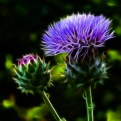 Picture Title - Glowing Thistles