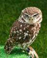 Picture Title - Little Owl