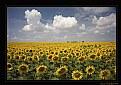 Picture Title - Sunflower Field
