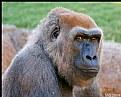 Picture Title - Gorilla Face