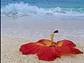 Picture Title - Sea Greets Hibiscus