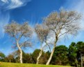 Picture Title - Silver Trees