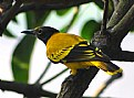 Picture Title - Balck Hooded Oriole