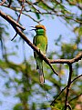 Picture Title - Green Bee Eater