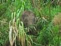 Picture Title - Bornean Pygmy Elephant