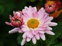 Picture Title - Chrysanthemums