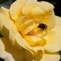 Picture Title - Bumble Bee for Keith II