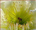 Picture Title - Cactus Flower with Bee