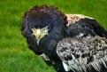 Picture Title - Bateleur Eagle