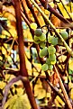 Picture Title - Oregon Grape