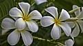 Picture Title - White Plumeria