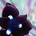 Picture Title - Obscure Flower