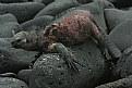 Picture Title - Marine Iguana