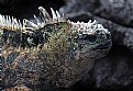 Picture Title - Marine Iguana in Galapogas