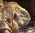 Picture Title - Land Iguana in Galapogas